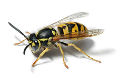 Yellowjacket_2